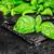 top · view · fresche · verde · basilico · foglie - foto d'archivio © vankad