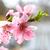 almond pink flowers stock photo © vapi