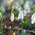 snowdrops  spring white flowers stock photo © vapi