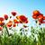 gyönyörű · pipacs · rügy · közelkép · klasszikus · stílus - stock fotó © vapi