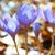 açafrão · primavera · jardim · planta · rosa · prado - foto stock © vapi