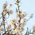 amande · fleur · floraison · arbre · plein · fleurir - photo stock © vapi