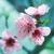 rózsaszín · sakura · virágok · izolált · fehér · tavasz - stock fotó © vapi