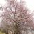 blooming almond tree stock photo © vapi