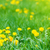 karahindiba · çiçek · bahar · orman · arka · plan - stok fotoğraf © vapi