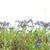 zöld · fű · kék · virágok · izolált · fehér · virág - stock fotó © vapi