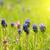 kék · három · gyönyörű · virágok · izolált · fehér - stock fotó © vapi