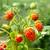 fényes · érett · eper · közelkép · eprek · piros - stock fotó © vapi