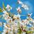 beyaz · çiçekler · kiraz · bahar · bahçe · mavi · gökyüzü · gökyüzü - stok fotoğraf © vapi