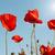 klaprozen · veld · stralen · zon · bloem · voorjaar - stockfoto © vapi