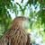 falcão · Águia · isolado · branco · natureza · beleza - foto stock © vapi