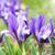 Purple · Iris · макроса · выстрел · цветок - Сток-фото © vapi