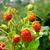 heldere · rijp · aardbei · aardbeien · Rood - stockfoto © vapi