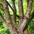 grand · vieux · chêne · île · arbre · nature - photo stock © vapi