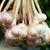 bunch of garlics stock photo © vapi