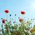 veld · klaprozen · zon · blauwe · hemel · hemel · wolken - stockfoto © vapi