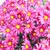 campo · rosa · crisantemo · flor · primavera · naturaleza - foto stock © vapi
