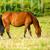 dark bay horse stock photo © vapi