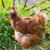 orange chicken hen stock photo © vapi