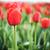 field of beautiful red tulips stock photo © vapi