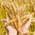 trigo · orelhas · mãos · fresco · verde · branco - foto stock © vapi
