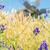 szélmalom · búzamező · víz · pumpa · kút · központi - stock fotó © vapi