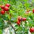 szárított · növénygyűjtemény · borsmenta · tea · közelkép · makró · szabadtér - stock fotó © vapi