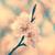 voorjaar · witte · lentebloemen · pruim · boom - stockfoto © vapi