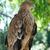 halcón · águila · sesión · árbol · naturaleza · belleza - foto stock © vapi