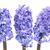 azul · três · belo · flores · isolado · branco - foto stock © vapi