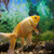 arany · kicsi · halfajok · akvárium · fehér · tömeg - stock fotó © vapi