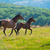 running dark bay horses stock photo © vapi