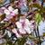 blossoms japanese cherry tree stock photo © vavlt