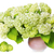 Large lush bouquet of white  hydrangea stock photo © vavlt