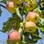 citromsárga · piros · almák · ág · gyümölcsös · fa - stock fotó © vavlt
