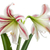 çiçek · aile · dil · çiçekler · güzellik · gurur - stok fotoğraf © vavlt