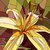 Vector illustration of flower yellow lily. stock photo © Vertyr