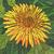 Vector illustration of flowers orange dandelion. stock photo © Vertyr