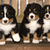 Bernese mountain dog puppets are finaly home stock photo © vetdoctor