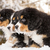 Bernese mountain dog puppets ready play game stock photo © vetdoctor