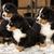 montagne · chien · prêt · jeu · bouvier · bernois · enfants - photo stock © vetdoctor