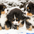 Dog puppest are halfly snowy and wet stock photo © vetdoctor