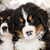 bernese mountain dog puppest looking at camera stock photo © vetdoctor