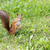 Hairy squirell stopped at low mown grass stock photo © vetdoctor