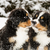Bernese mountain dog puppets sniff each others stock photo © vetdoctor