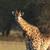 giraffe stock photo © vividrange