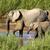 afrikai · elefántok · sétál · park · Kenya · fű - stock fotó © vividrange