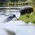 goliath heron stock photo © vividrange