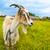 cabra · grama · verde · pequeno · branco · fresco · primavera - foto stock © vkraskouski
