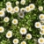 Bush · marguerites · herbe · verte · ciel · fleur · printemps - photo stock © vlaru